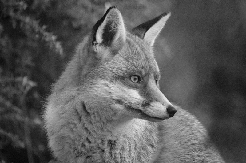 Fox black and white wildlife photography